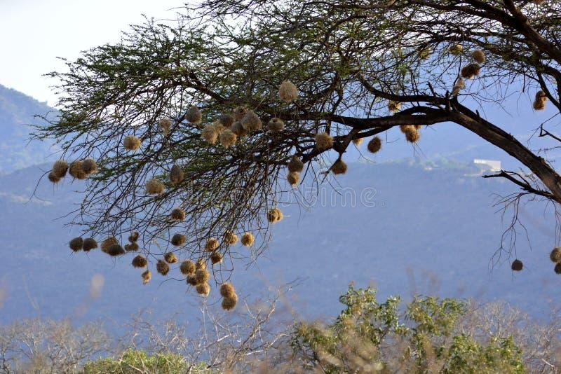 红开帐单的quelea Quelea quelea的许多巢 免版税图库摄影