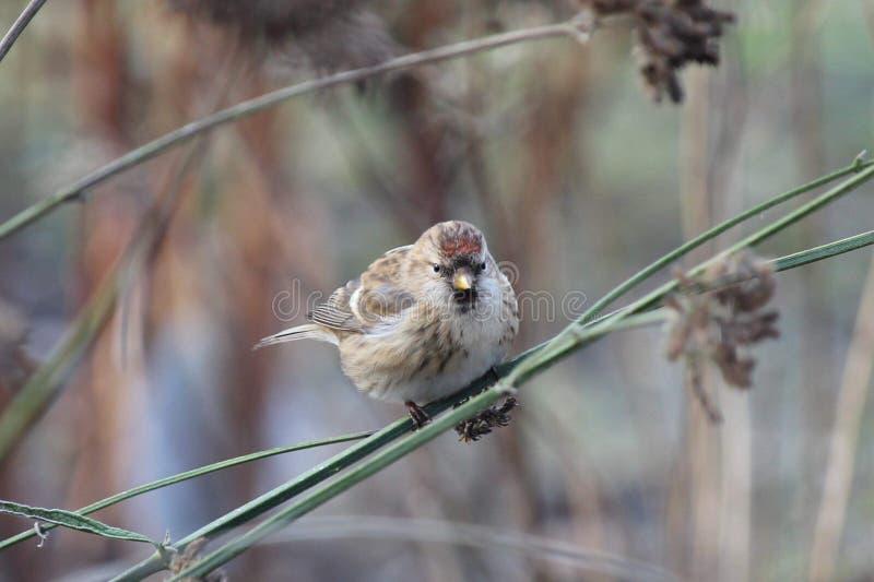 红弱鸟在庭院里 免版税库存图片