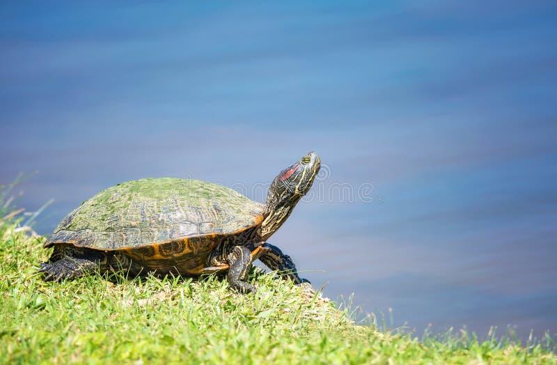 红有耳的滑子乌龟Trachemys scripta elegans 免版税库存图片