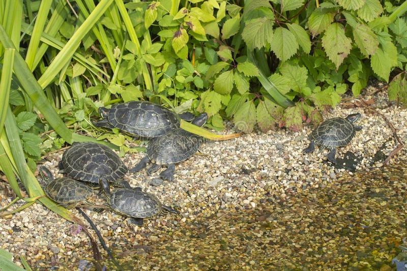 红有耳的滑子在湖池塘的岩石取暖在阳光下 乌龟群在狂放,休息的乌龟岸的 库存照片