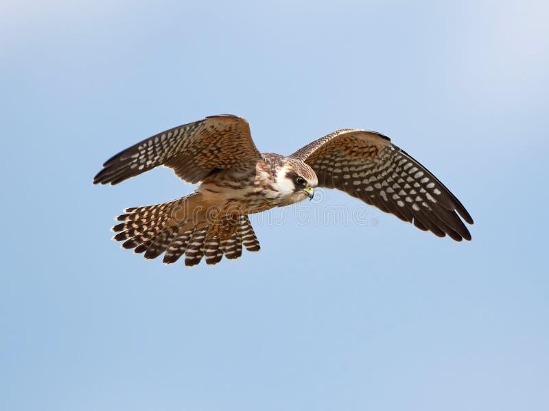 红有脚的猎鹰(游隼科vespertinus) 免版税库存图片