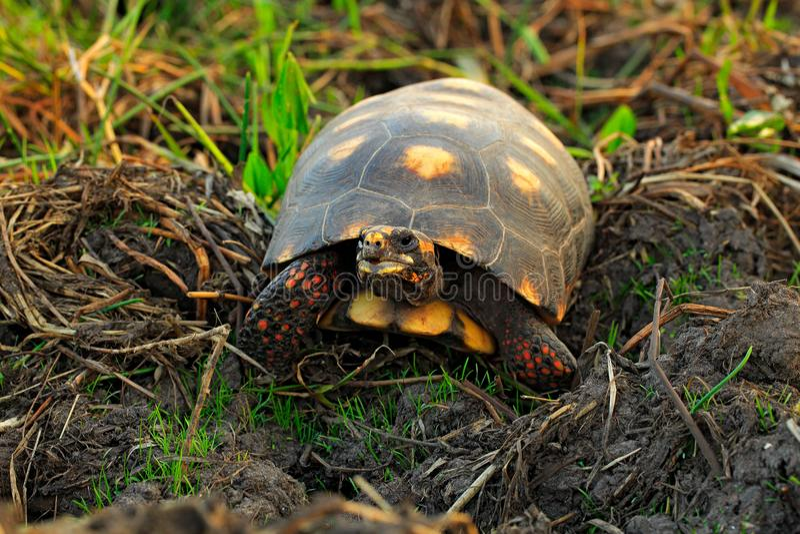 红有脚的草龟, Chelonoidis carbonarius,从潘塔纳尔湿地,巴西的乌龟 与红色腿的草龟 动物在自然栖所 Wildl 库存图片