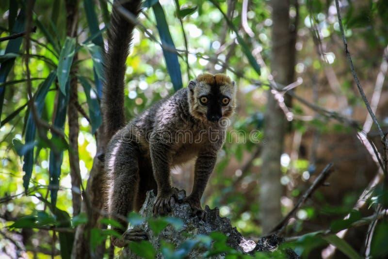 红朝向的布朗狐猴在黥基・德・贝马拉哈自然保护区 免版税库存照片