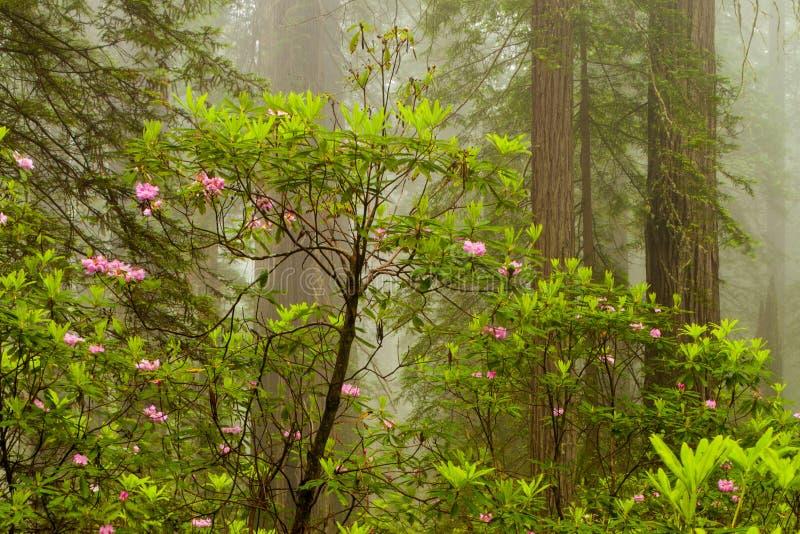 红木和杜鹃花沿诅咒小河在De落后 库存图片
