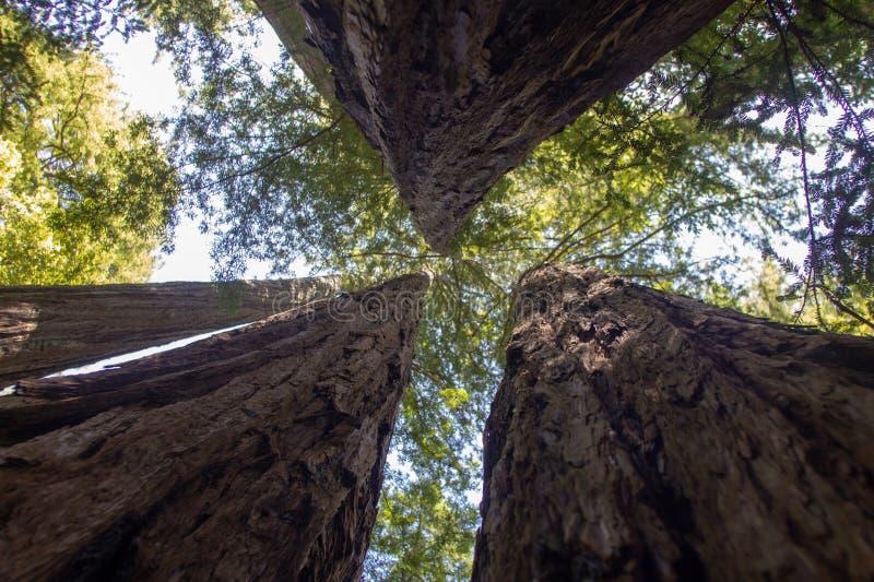 红木树在红木森林里在加利福尼亚 库存照片