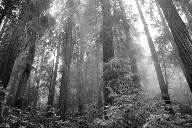 红木树在Muir森林国家公园 免版税库存照片