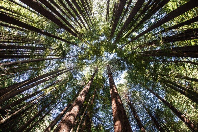 红木树木天棚 免版税库存图片