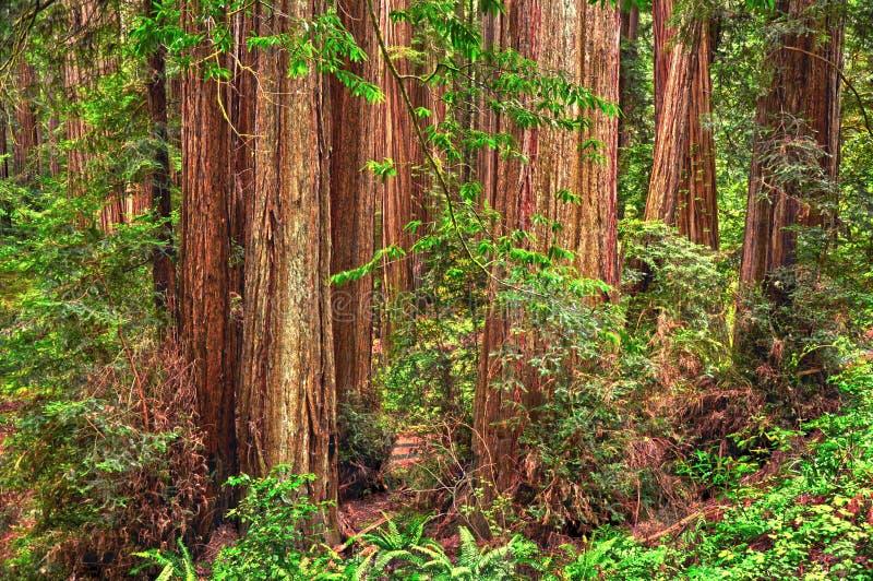 红木树森林在红木国立公园,洪堡,加利福尼亚 免版税库存图片