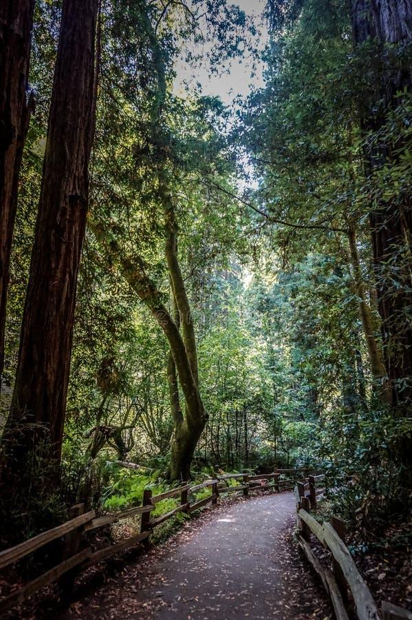 红木森林在加利福尼亚 免版税库存照片