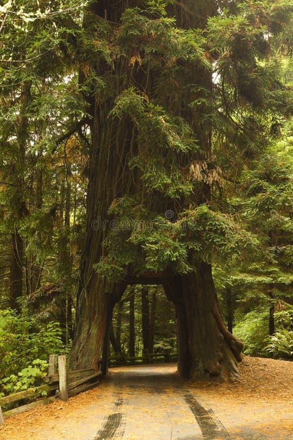 红木结构树隧道 免版税图库摄影