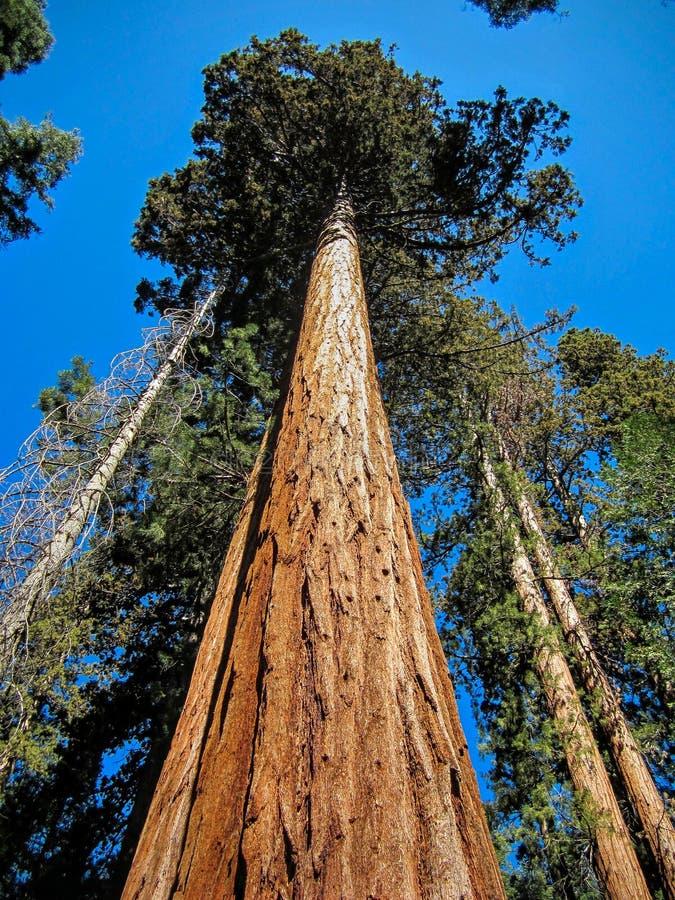 红杉国家公园里的一棵红杉 免版税库存照片