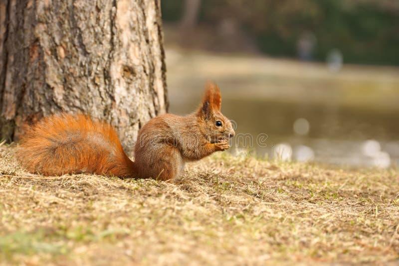 红松鼠中型松鼠寻常的被吃的核桃 库存图片