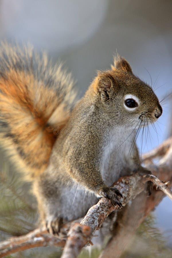 红松鼠冬天 库存照片