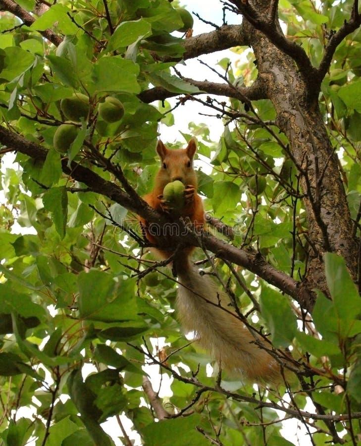红松鼠吃在树的绿色杏子 免版税库存图片