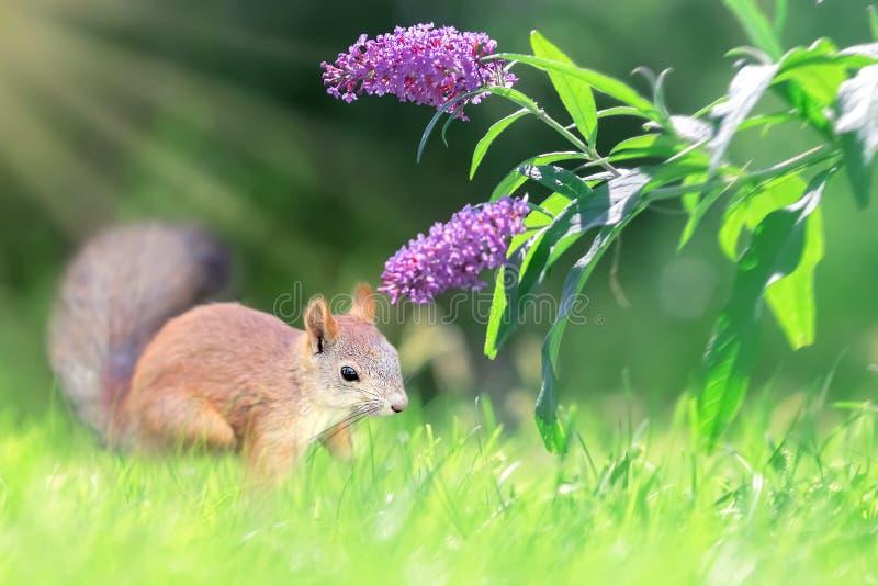 红松鼠和丁香花 库存照片