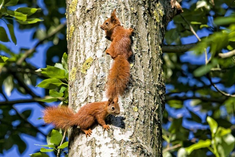 红松鼠在森林 图库摄影