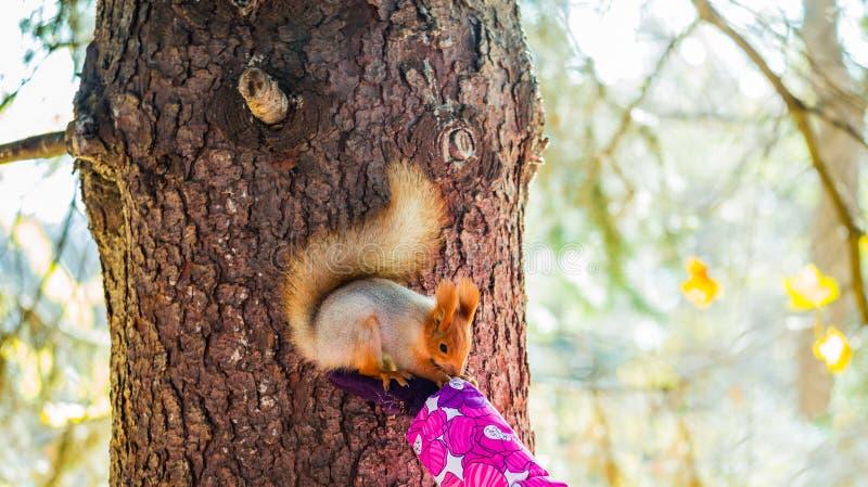 红松鼠坐女孩的棕榈 秋天日在城市公园 图库摄影