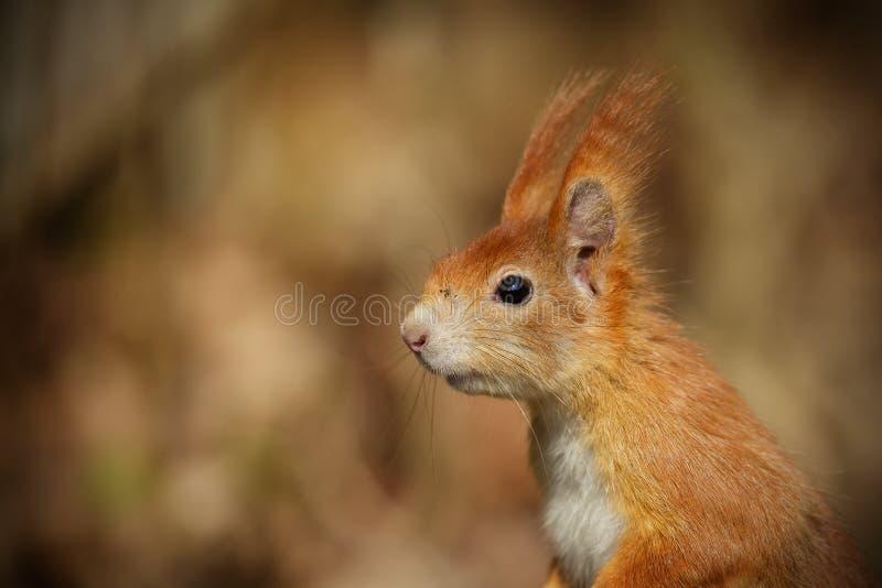 红松鼠画象 库存照片