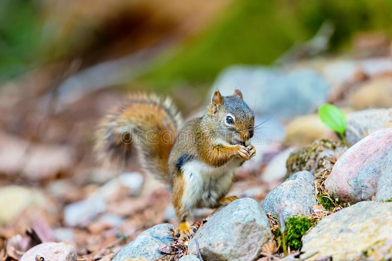 Download 红松鼠 库存图片. 图片 包括有 本质, 眼睛, 查找, 敬慕, 自然, 结构树, 室外, 背包, 空白 - 72372695
