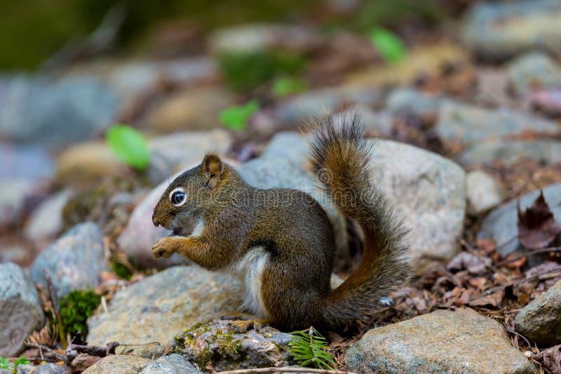 Download 红松鼠 库存照片. 图片 包括有 苏格兰, 头发, 敌意, 哺乳动物, 敬慕, 尾标, 螺母, 查找, brander - 72372718