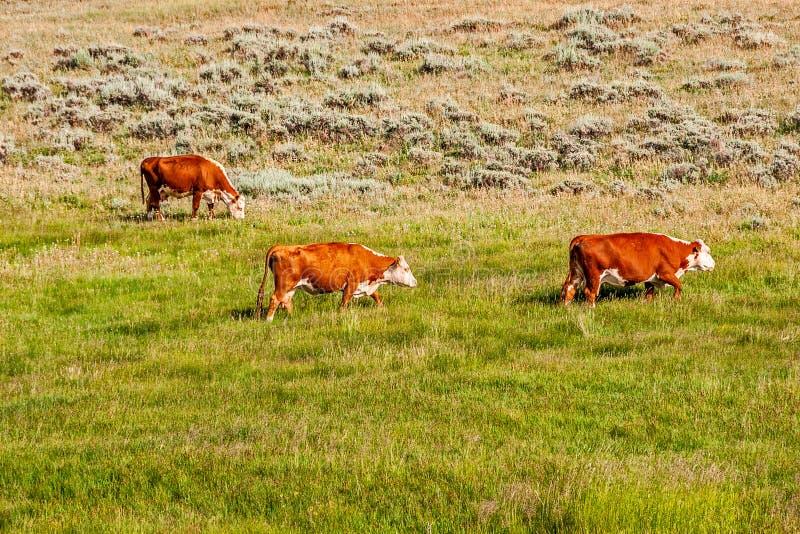 红棕色和白色母牛 免版税库存照片