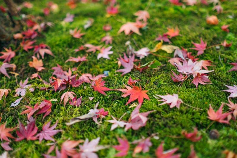 红槭叶子在地面上在秋天落 免版税库存图片