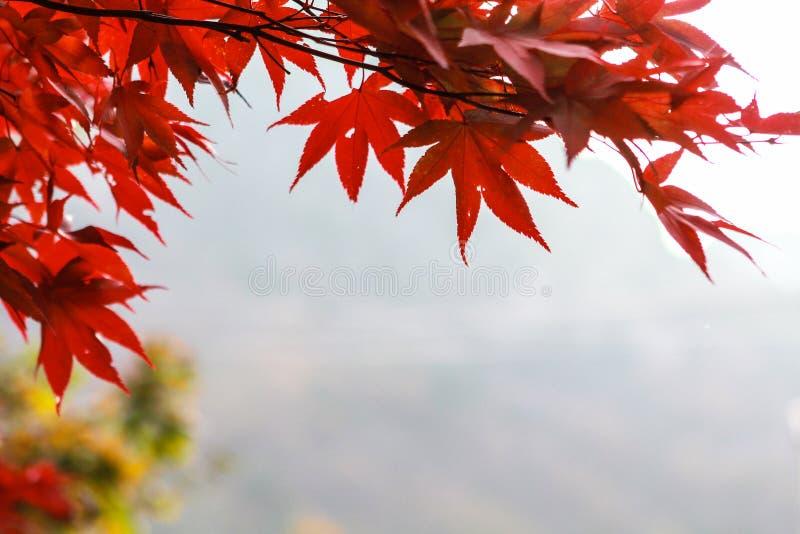 红槭叶子,韩国秋天 免版税库存照片