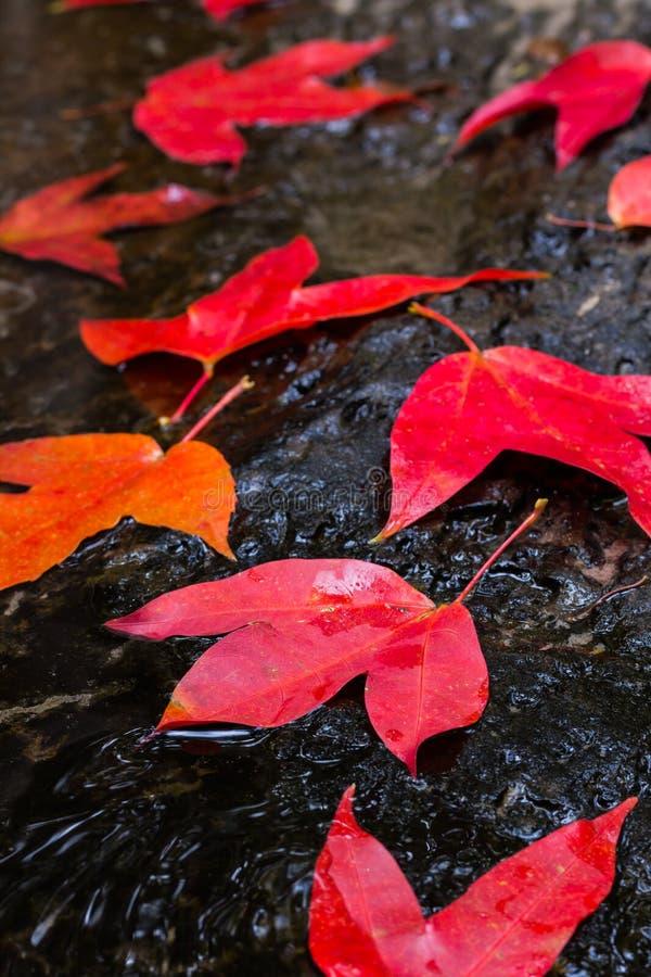 红槭叶子 免版税库存图片