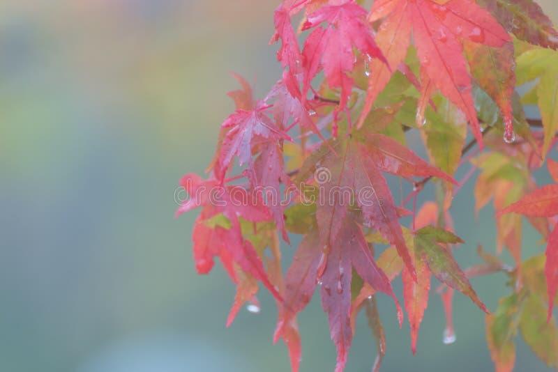 红槭在秋天离开与雨下落,日光 库存图片