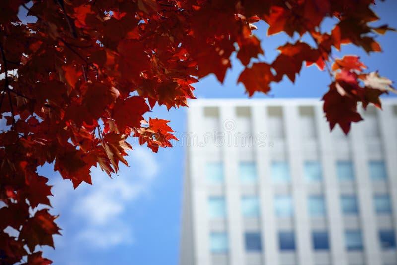红槭离开反对都市大厦在札幌市hokkaid 库存照片