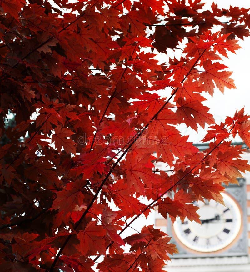 红槭离开对秋天札幌hokkado日本的季节变动 库存照片