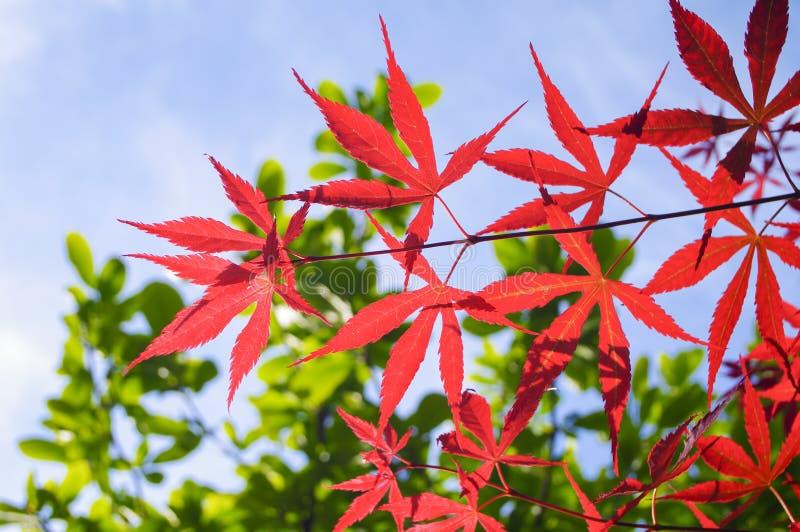 红槭羽毛 库存照片