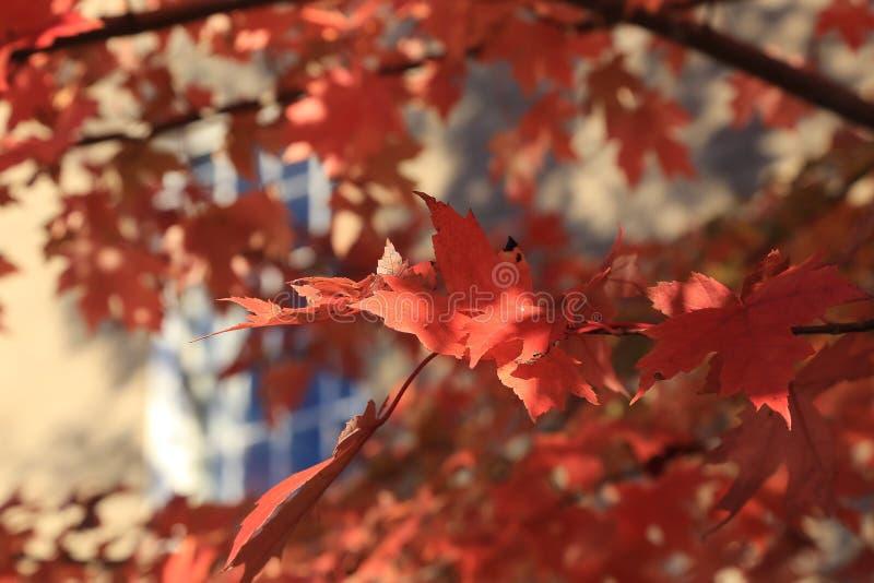 红槭 秋天在佛蒙特 免版税图库摄影