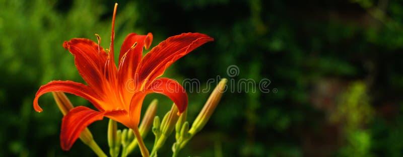红橙色火热的花 免版税图库摄影