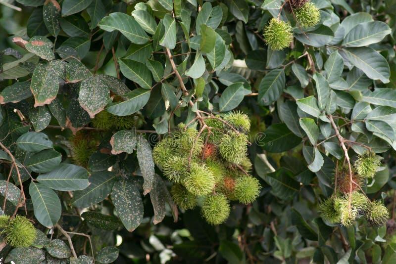 红毛丹树 库存图片