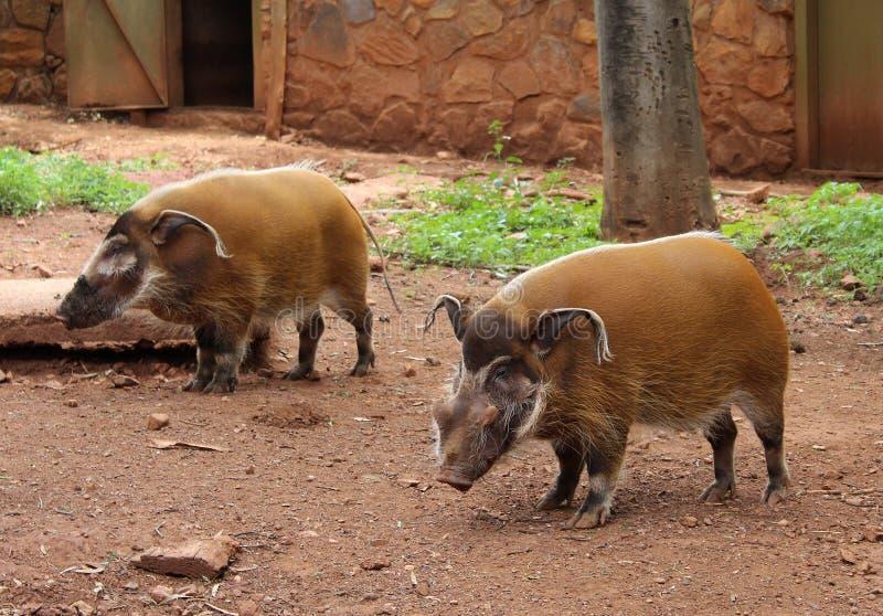 红河肉猪Potamochoerus porcus,亦称灌木猪 免版税库存图片