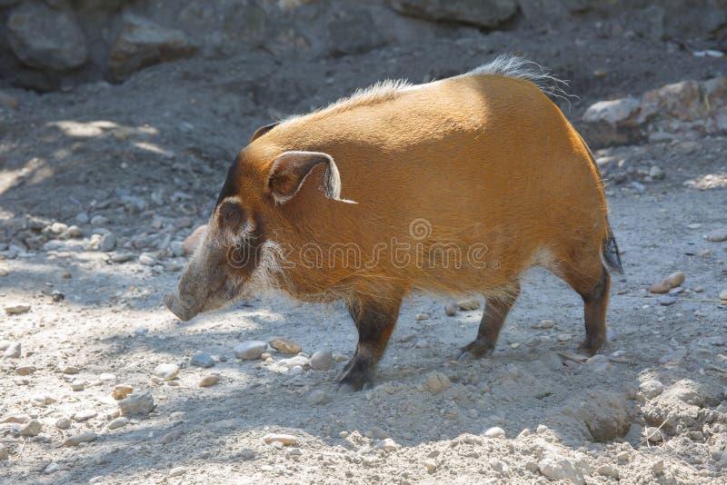 红河肉猪Potamochoerus porcus 库存照片