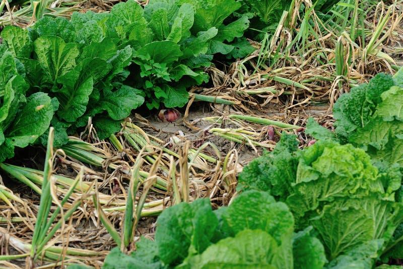 红洋葱和大白菜庄稼 图库摄影
