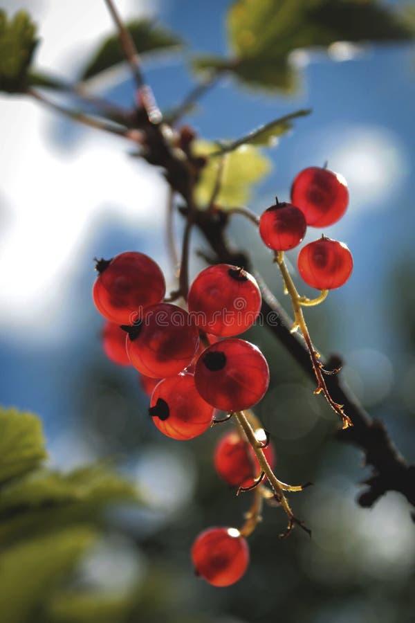 红浆果分支在blured自然本底的 库存照片
