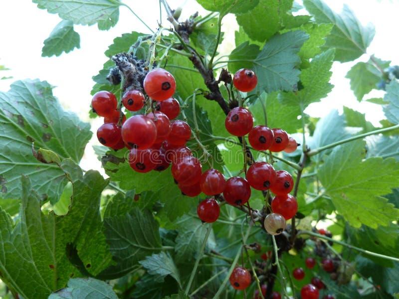 红浆果是非常您的健康的鲜美和有用的莓果 库存图片