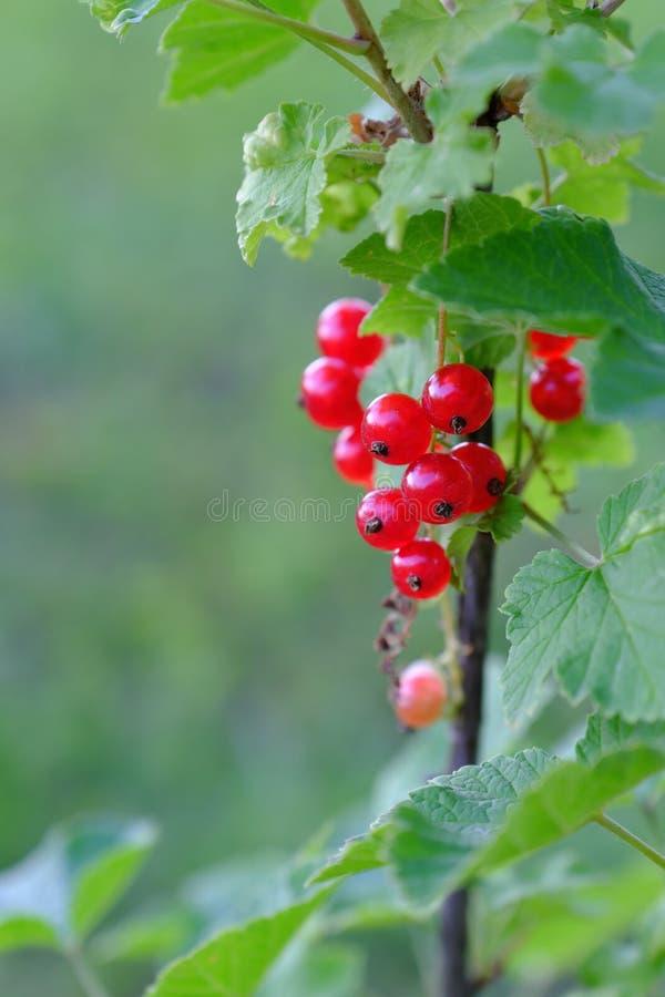 红浆果照片  库存图片