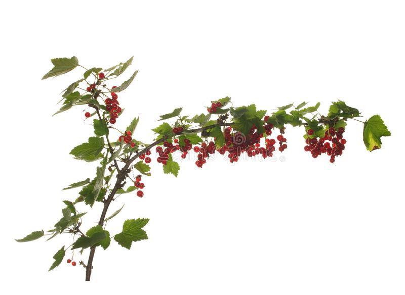 红浆果的分支用在白色背景和叶子隔绝的莓果 库存图片