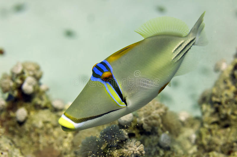 红海毕加索触发器鱼关闭画象 免版税库存图片