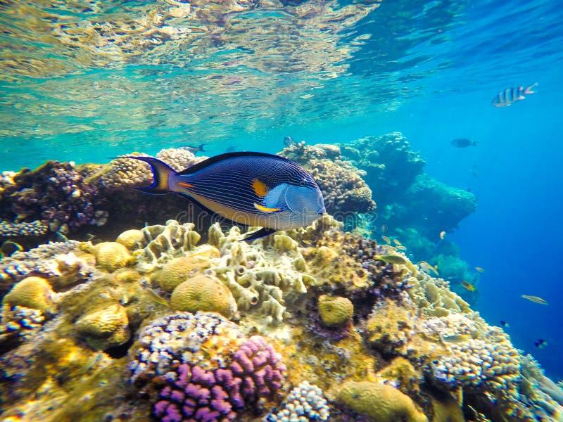 红海的水下的世界在埃及 在海热带水下的生活 免版税库存图片