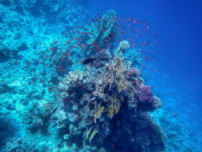 红海,火珊瑚,金鱼鱼的水下的世界,以海底和深度为背景 库存图片