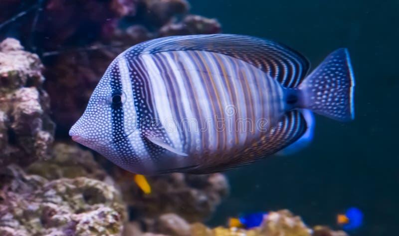 红海sailfin在特写镜头,从印度洋的一只普遍的热带水族馆宠物带浓味 库存照片
