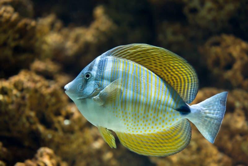 红海Sailfin特性Zebrasoma desjardinii 库存照片