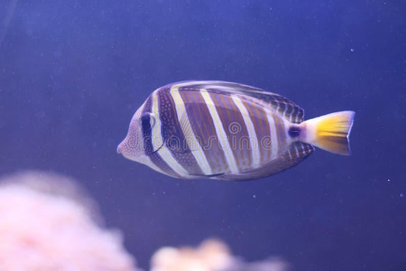 红海sailfin鱼 免版税库存图片