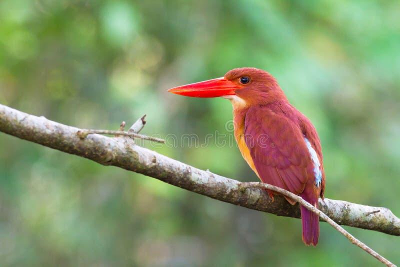 红润的翠鸟 库存照片