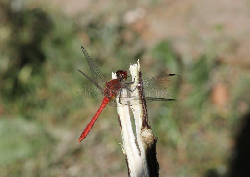 红润突进者蜻蜓Sympetrum sanguineum 免版税图库摄影